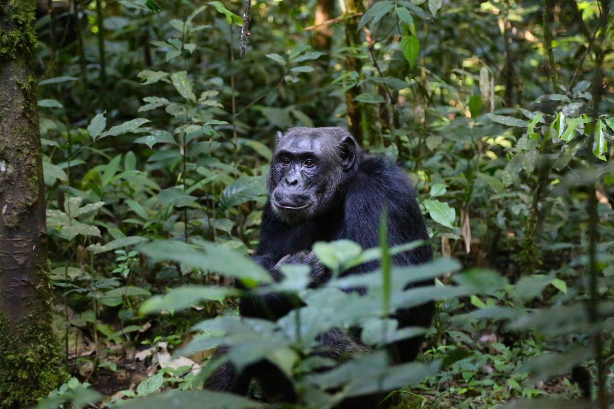 chimpansee in Oeganda