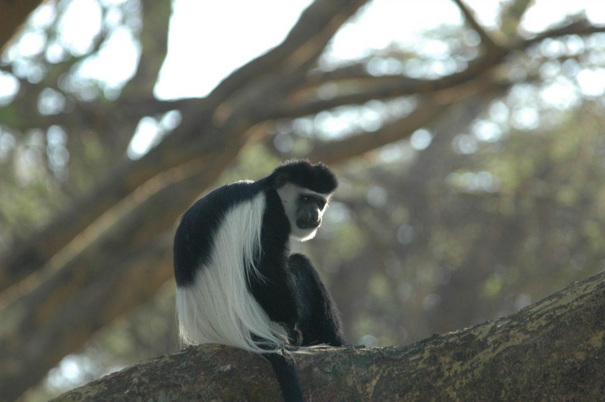 zwart witte franjeaap in kibale forest national park