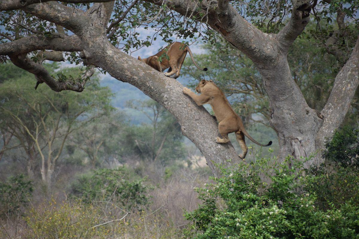 boomklimmende leeuwen in Queen Elizabeth National Park
