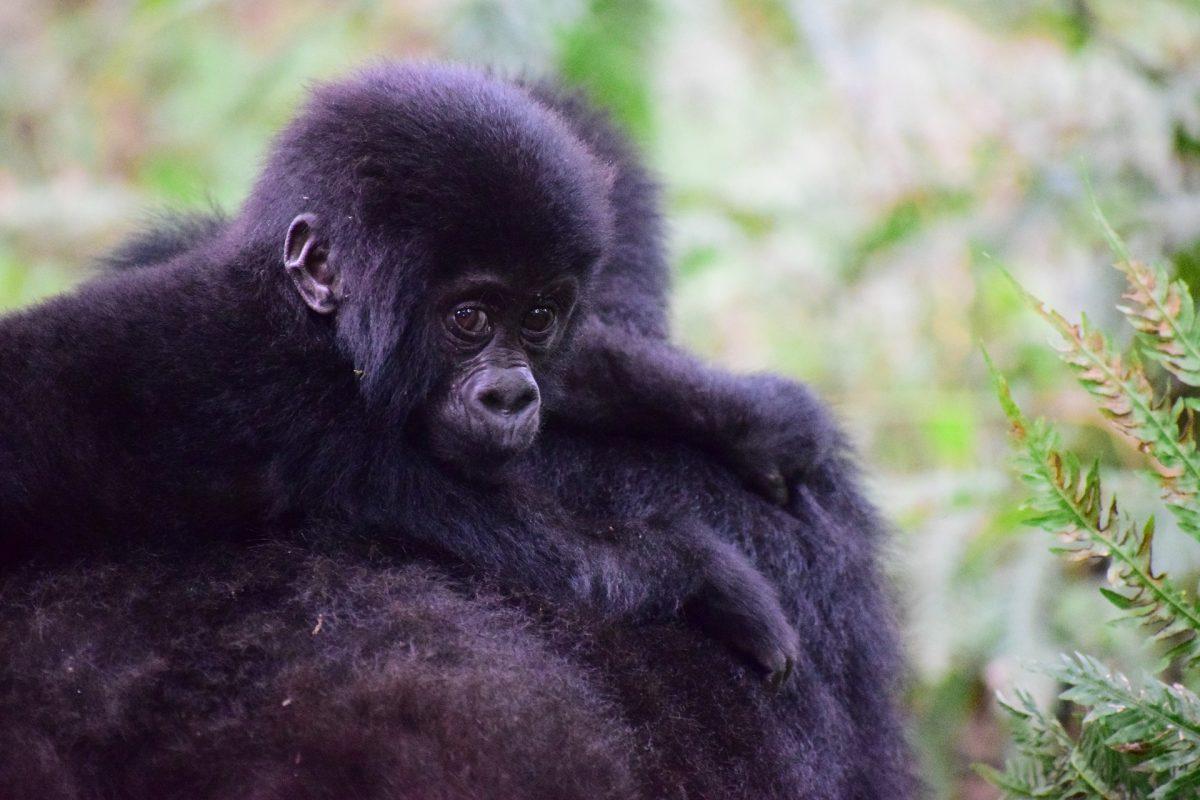 Berggorilla's tijdens een vakantie naar Oeganda