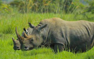neushoorns in Oeganda