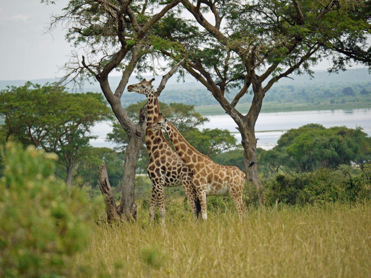 Rothschild giraffen in Murchison Falls National Park Oeganda