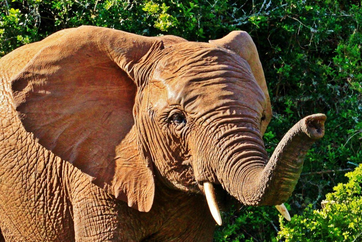 slurf van de olifant