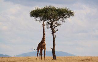giraffen en acacia's