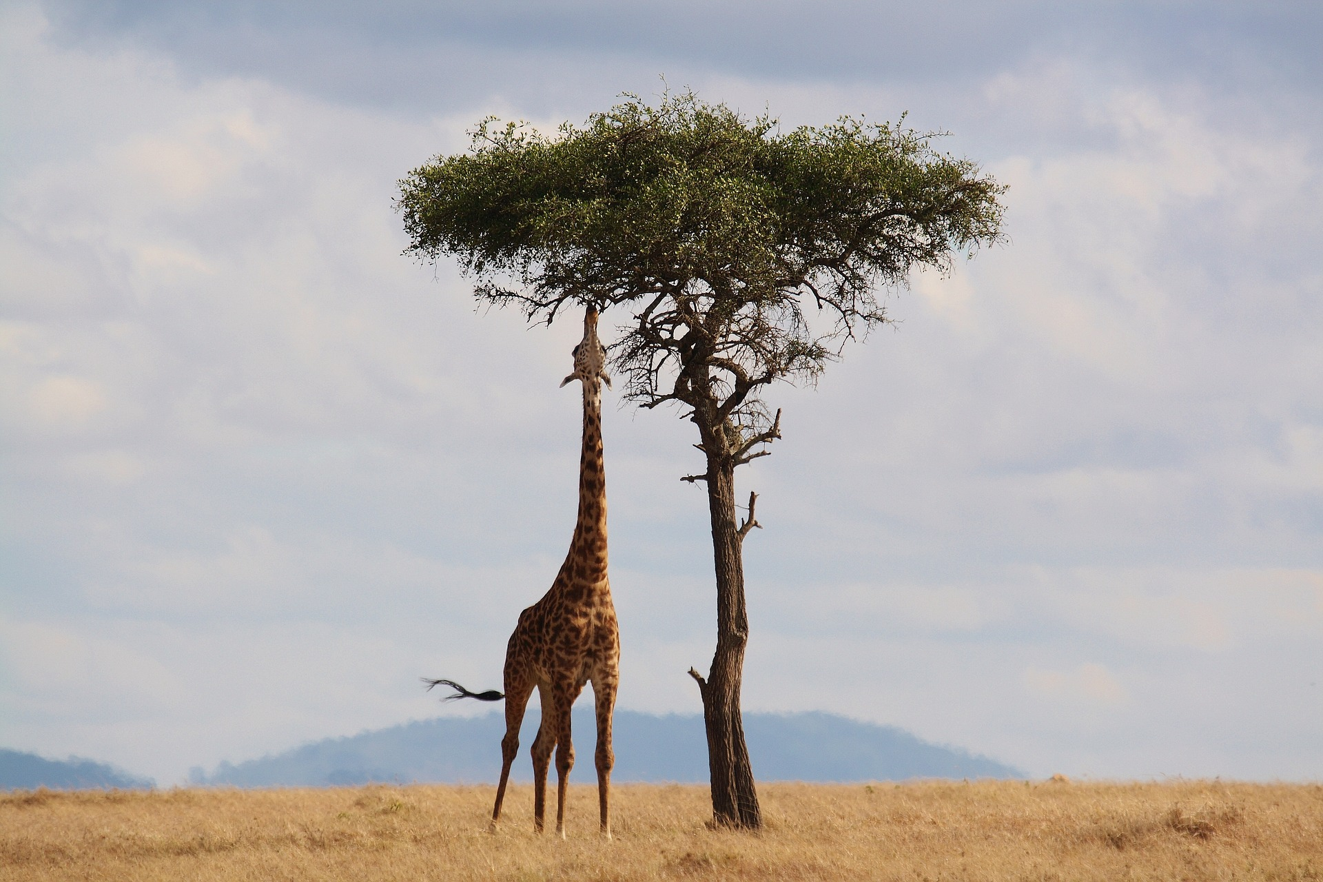 De wonderbaarlijke wapenwedloop tussen giraffen en acacia's