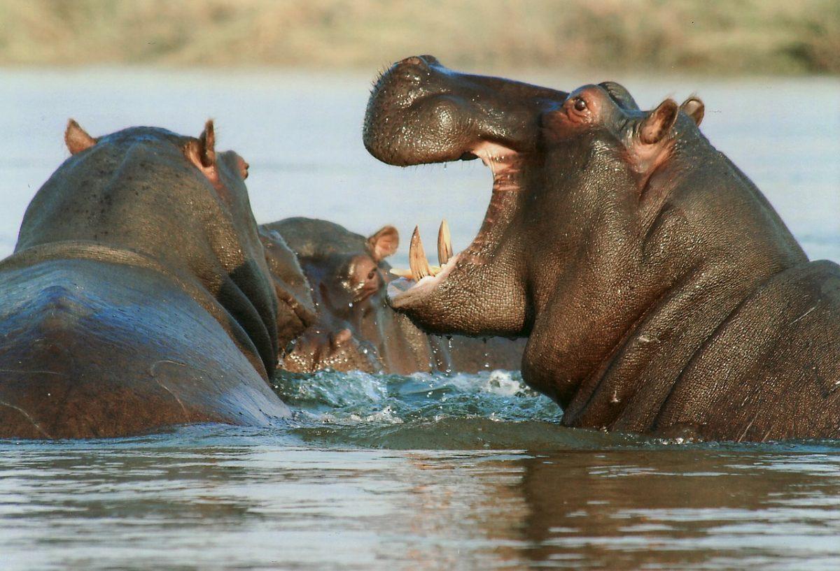 niet aaibare nijlpaarden