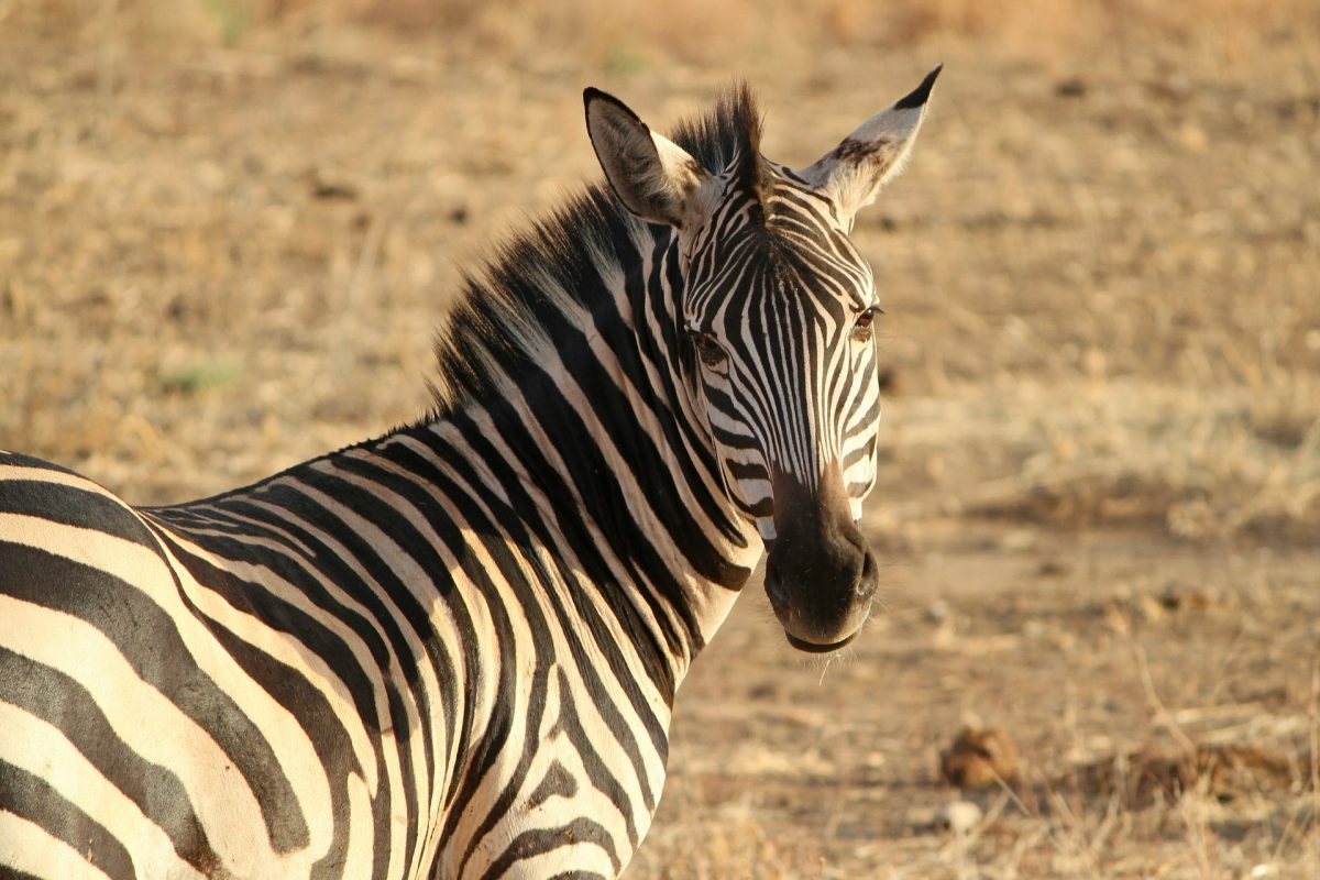 Zebra in Lake Mburo National Park