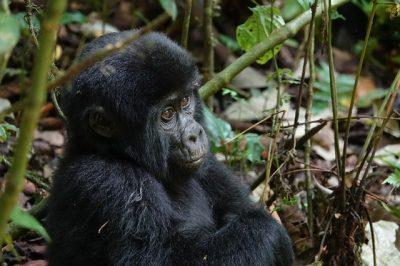 berggorilla bij Sanctuary gorilla forest camp