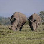 Twee witte neushoorns in een park in Afrika