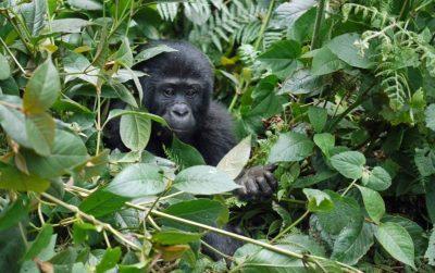 Een berggorilla verschuild tussen de struiken in Oeganda