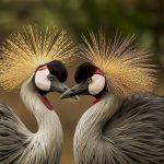 grijze kroonkraanvogels bij lake Bunyonyi