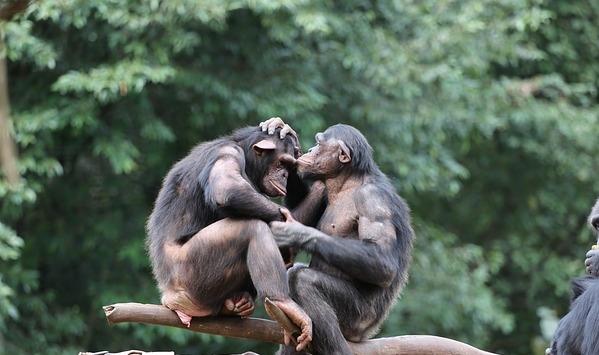 Ngamba Island Chimpansee Sanctuary