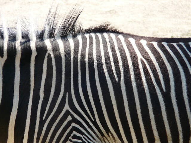 Strepen zebra