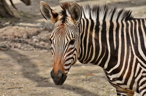 zebra weetjes