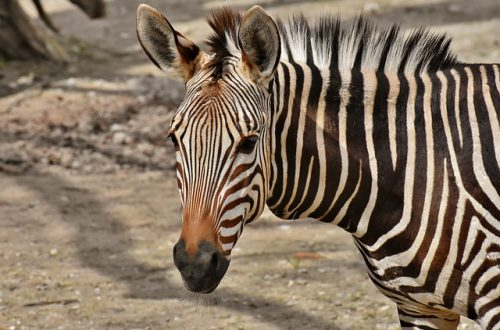 Zeven interessante zebra weetjes