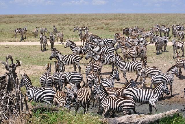 Zebra's in Tanzania