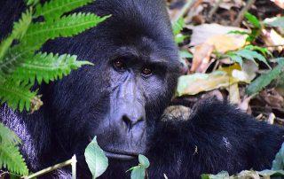feiten over de berggorilla