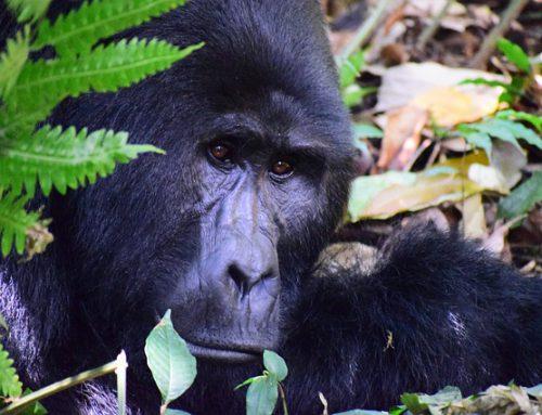Fascinerende feiten over de berggorilla: wist jij dit al?