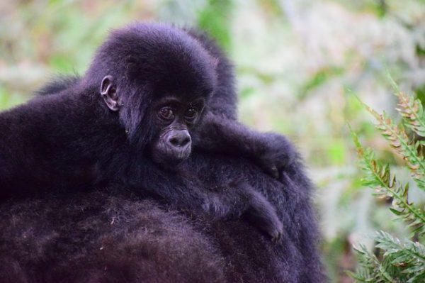 Berggorilla met jong op de rug