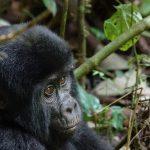 jonge berggorilla in Oeganda