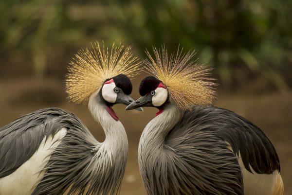 grijze kroonkraanvogels zijn monogaam