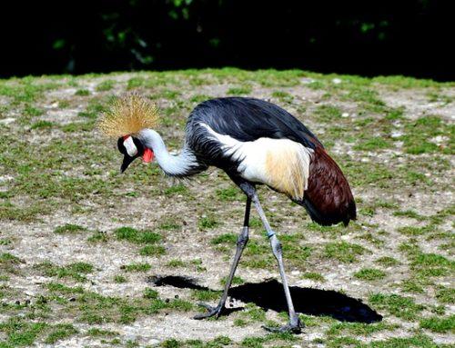 De Grijze Kroonkraanvogel: interessante feiten