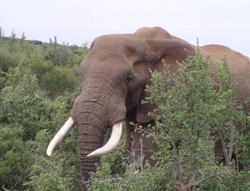 De Afrikaanse olifant: interessante weetjes!