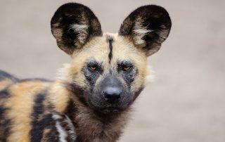 Feiten Afrikaanse wilde hond