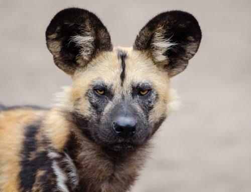 Afrikaanse wilde hond: 7 feiten