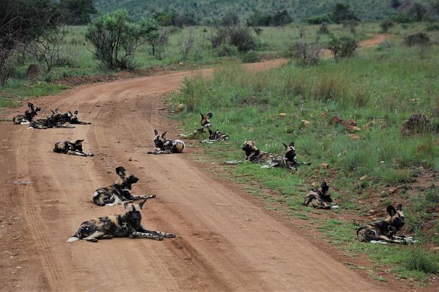 Groep Afrikaanse wilde honden